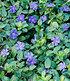 """Vinca minor """"Blau"""",3 Pflanzen (2)"""