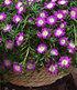 """Winterharte Eisblume """"Violett Wonder"""",3 Pflanzen (2)"""