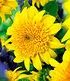 """Winterharte gefüllte Sonnenblume """"HAApy Days"""",1 Pflanze (2)"""