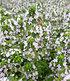 Zitronenthymian,3 Pflanzen (2)