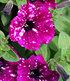 """Hänge-Petunie Purpurrote """"RoyalSKY®"""",3 Pflanzen (4)"""