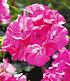 "Kletter-Geranien PAC® ""Antik-Serie®"" Farb-Mix,3 Pfl. Pelargonium (4)"