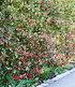 """Mein schöner Garten Photinia Hecken-Set """"Trend"""", 10 Pflanzen (4)"""