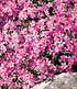 "Phlox-Mix ""Flowers of the Sea"",4 Pflanzen (4)"
