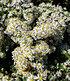 "Steinaster ""Snowflurry"",1 Pflanze (4)"