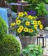 "Winterharte Sonnenblume ""SunCatcher®"",1Pflanze (4)"