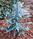 "Winterharter Eukalyptus ""Azura®"", 1 Pflanze (4)"