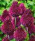 Bienenfreundliche Zwiebelblumen,147 Zwiebeln (3)