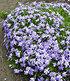 Blauer Teppich-Phlox 50 Stk.,50 Pflanzen (3)