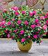 """Durchblühende Azalee """"Bloom Champion"""" purple, 1 Pflanze (3)"""