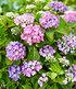 Hortensien-Hecke Forever & Ever® Hortbux®,2 Pflanzen (3)