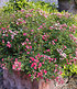 "Lilly Rose® ""Wonder5"",1 Pflanze (3)"