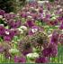 Mein schöner Garten Blumenzwiebel Allium-Mix (3)