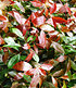 """Mein schöner Garten Photinia Hecken-Set """"Trend"""", 10 Pflanzen (3)"""