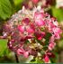 Mein schöner Garten Rispenhortensie (3)