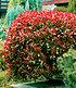 "Photinia-Hecke ""Red Robin"",1 Pflanze (3)"
