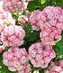 """Stehende Geranie """"Appleblossom"""",3 Pflanzen (3)"""