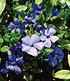 """Vinca minor """"Blau"""",3 Pflanzen (3)"""
