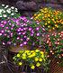 """Winterharte Eisblume """"Violett Wonder"""",3 Pflanzen (3)"""