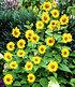 "Winterharte Sonnenblume ""SunCatcher®"",1Pflanze (3)"