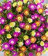 Winterharter Eisblumen-Mix imXXL Topf,1 Pflanze (3)